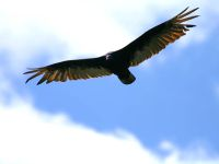 IMG_4423_turkey_vulture