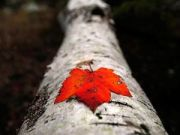 red-leaf-touzon_1504_600x450