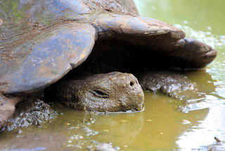 Wild Tortoise in the Mud
