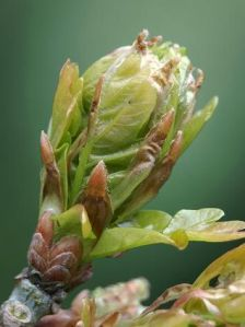 quercus_robur_pedunculate_common_oak_tree_bud_close-up_30-04-10_3