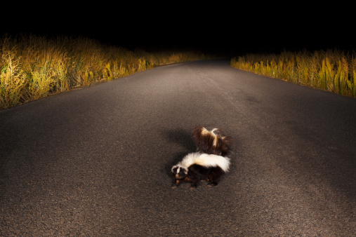 Skunk on Rural Road at Night