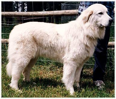 Image result for big white barking dog